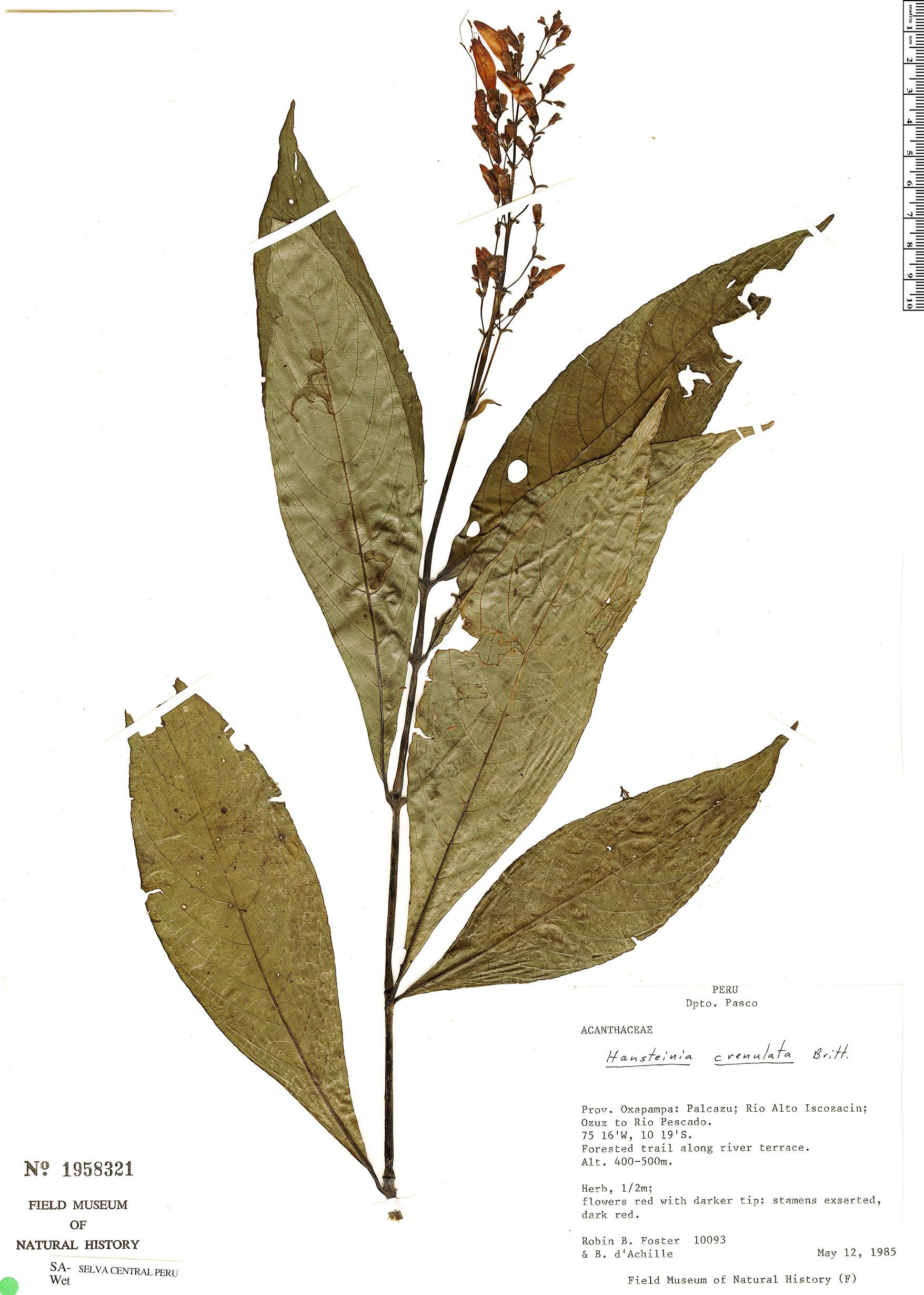 Specimen: Stenostephanus crenulatus