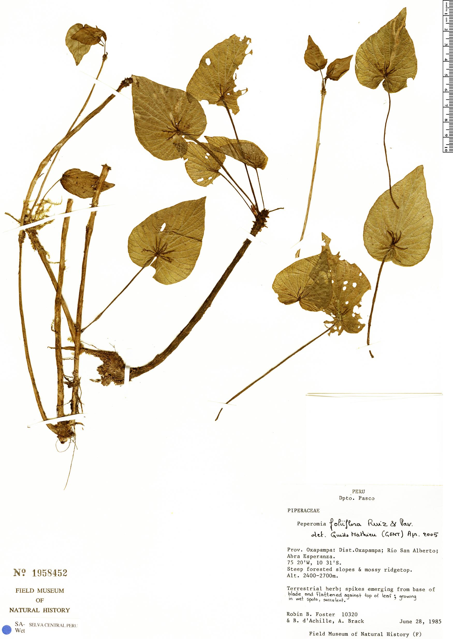 Specimen: Peperomia foliiflora