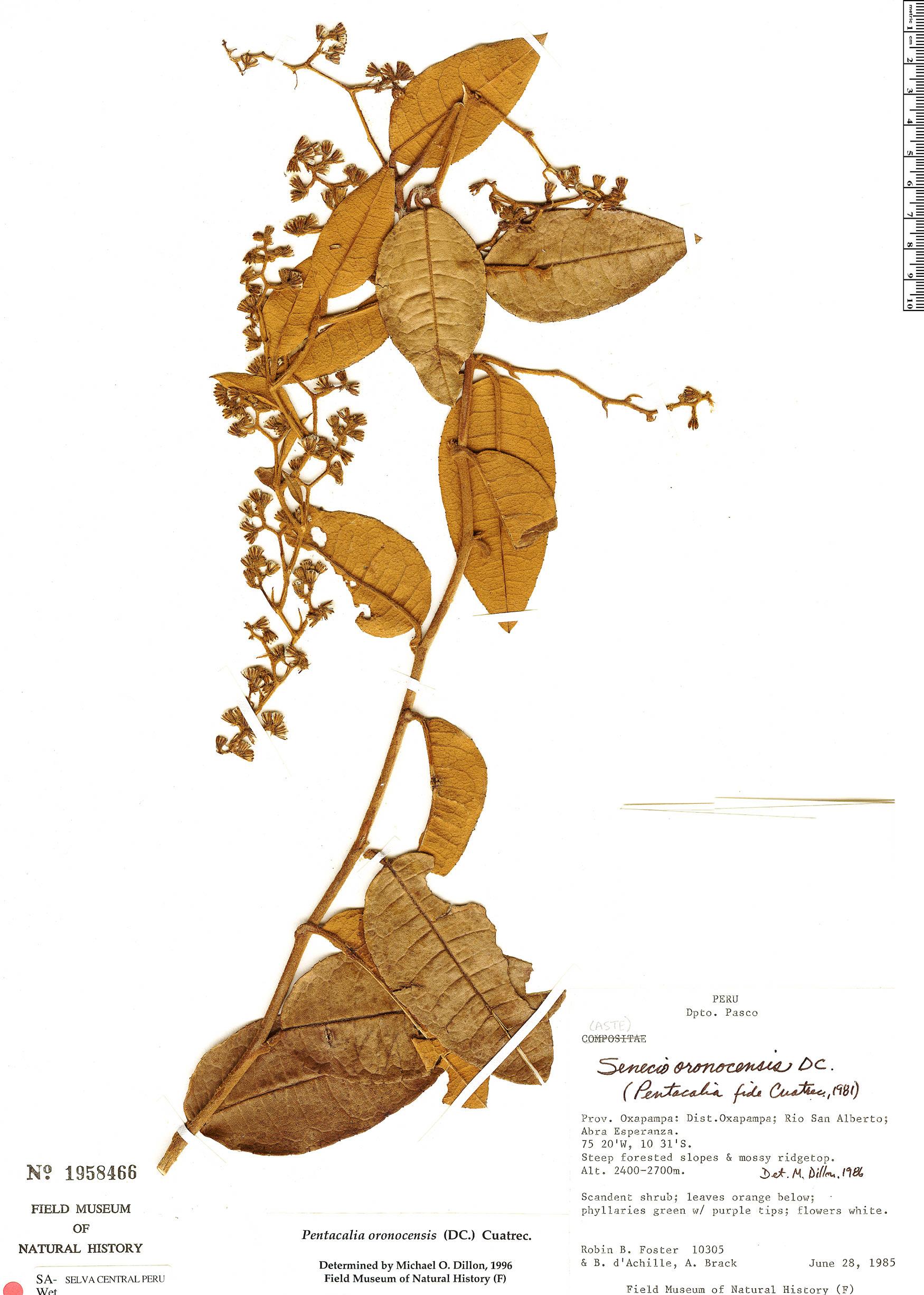 Espécime: Pentacalia oronocensis