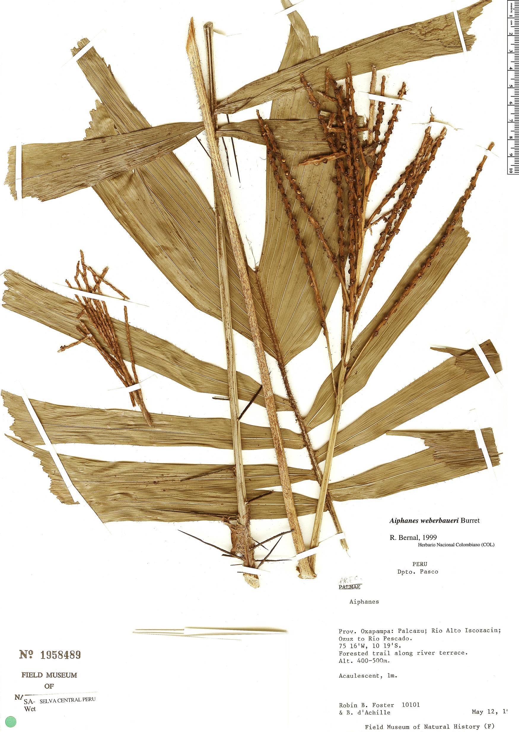 Espécime: Aiphanes weberbaueri
