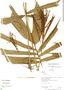Aiphanes weberbaueri Burret, Peru, R. B. Foster 10101, F