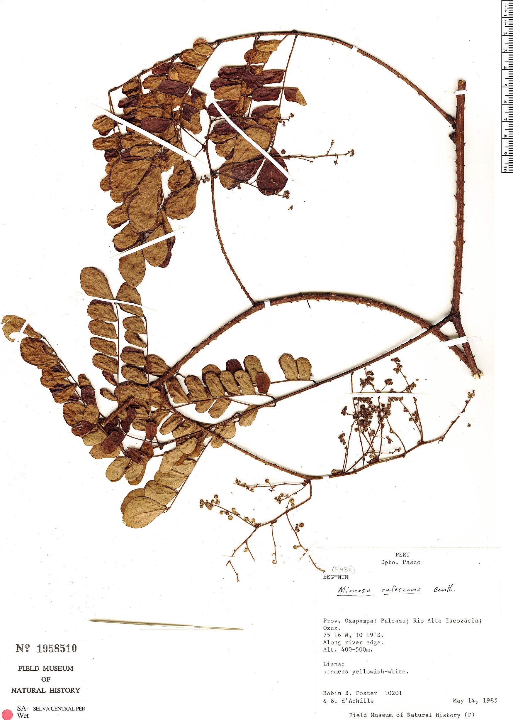 Specimen: Mimosa rufescens
