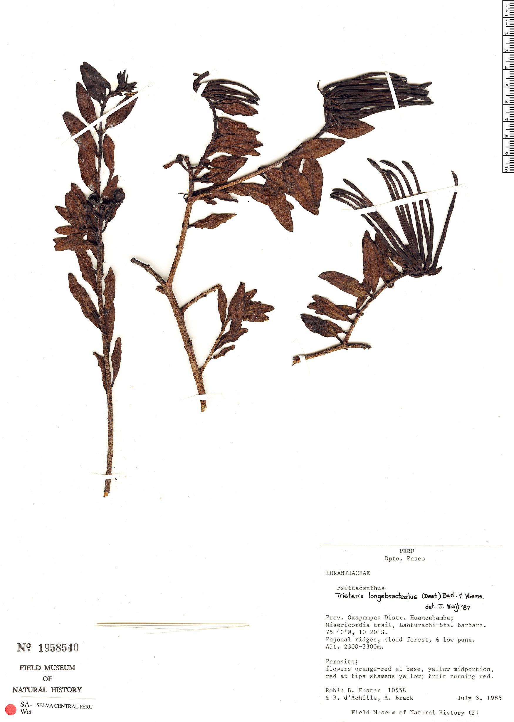 Espécimen: Tristerix longebracteatus
