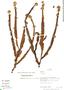 Baccharis sagittalis image