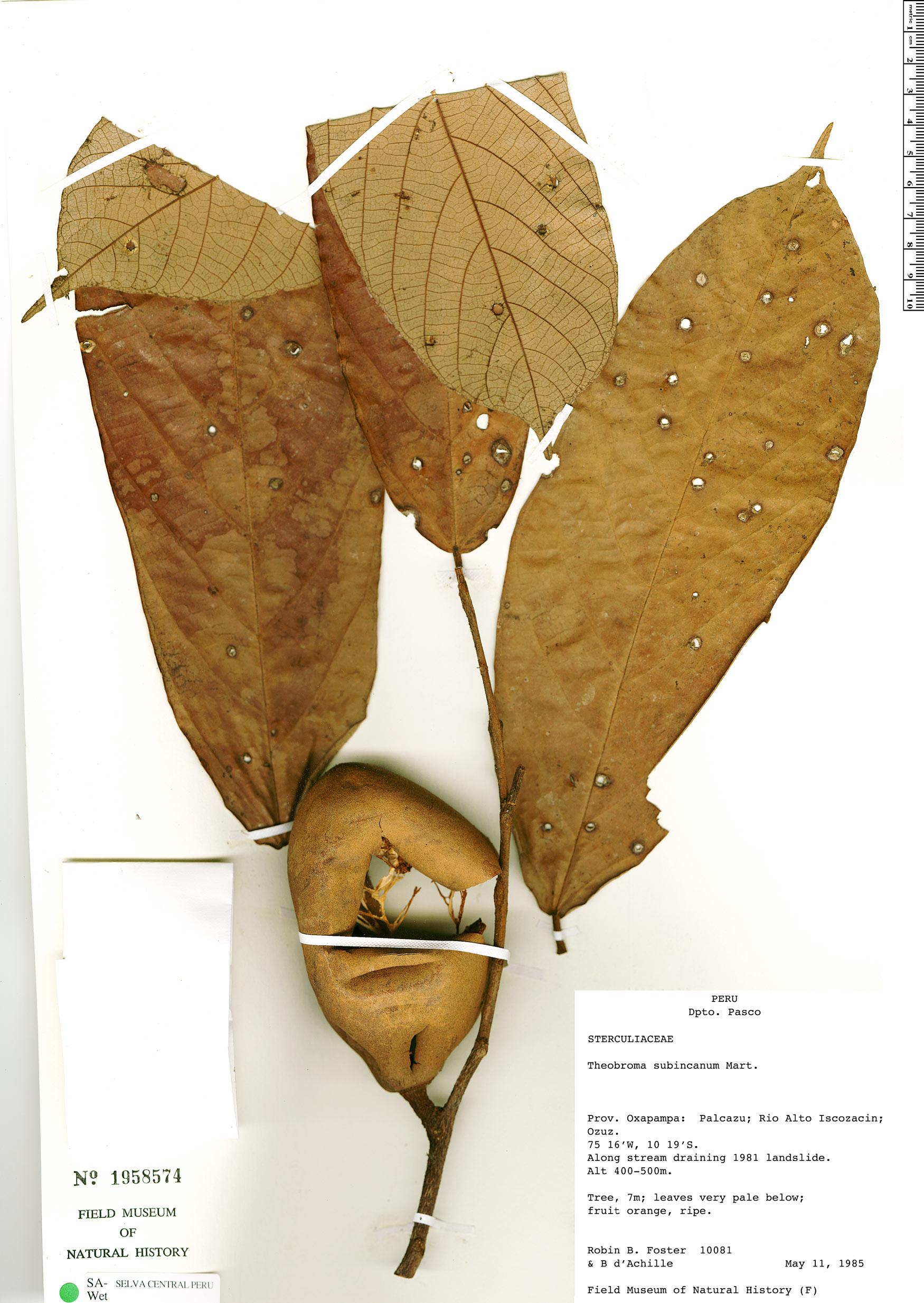 Specimen: Theobroma subincanum
