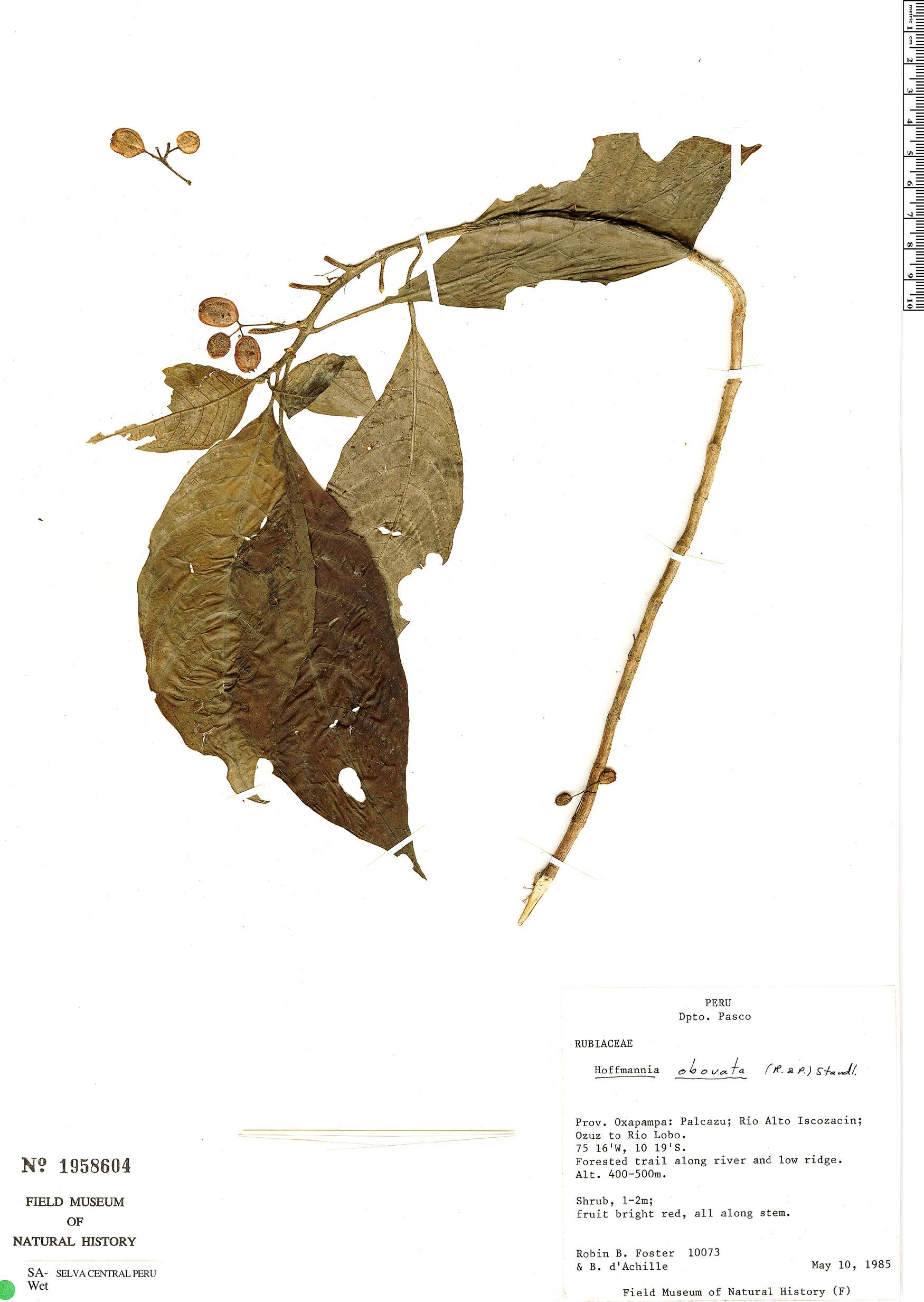 Specimen: Hoffmannia viridis
