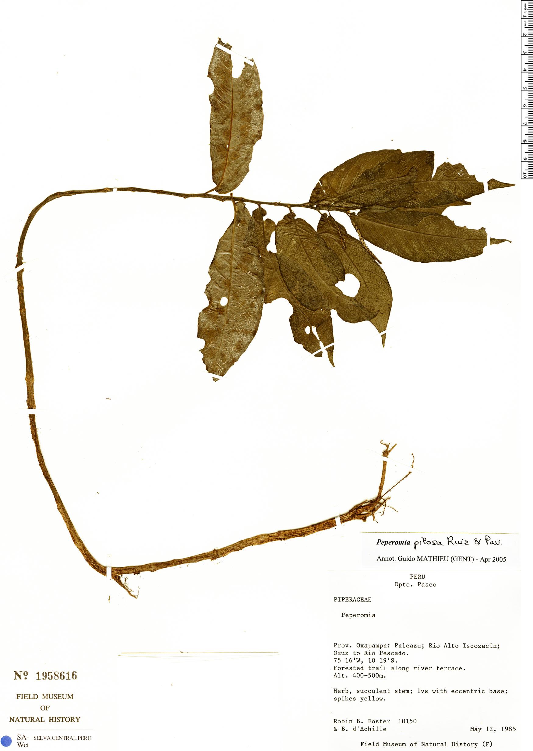 Specimen: Peperomia pilosa