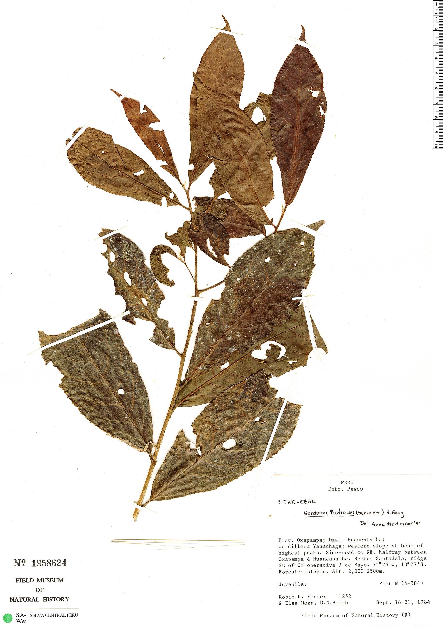 Specimen: Gordonia fruticosa