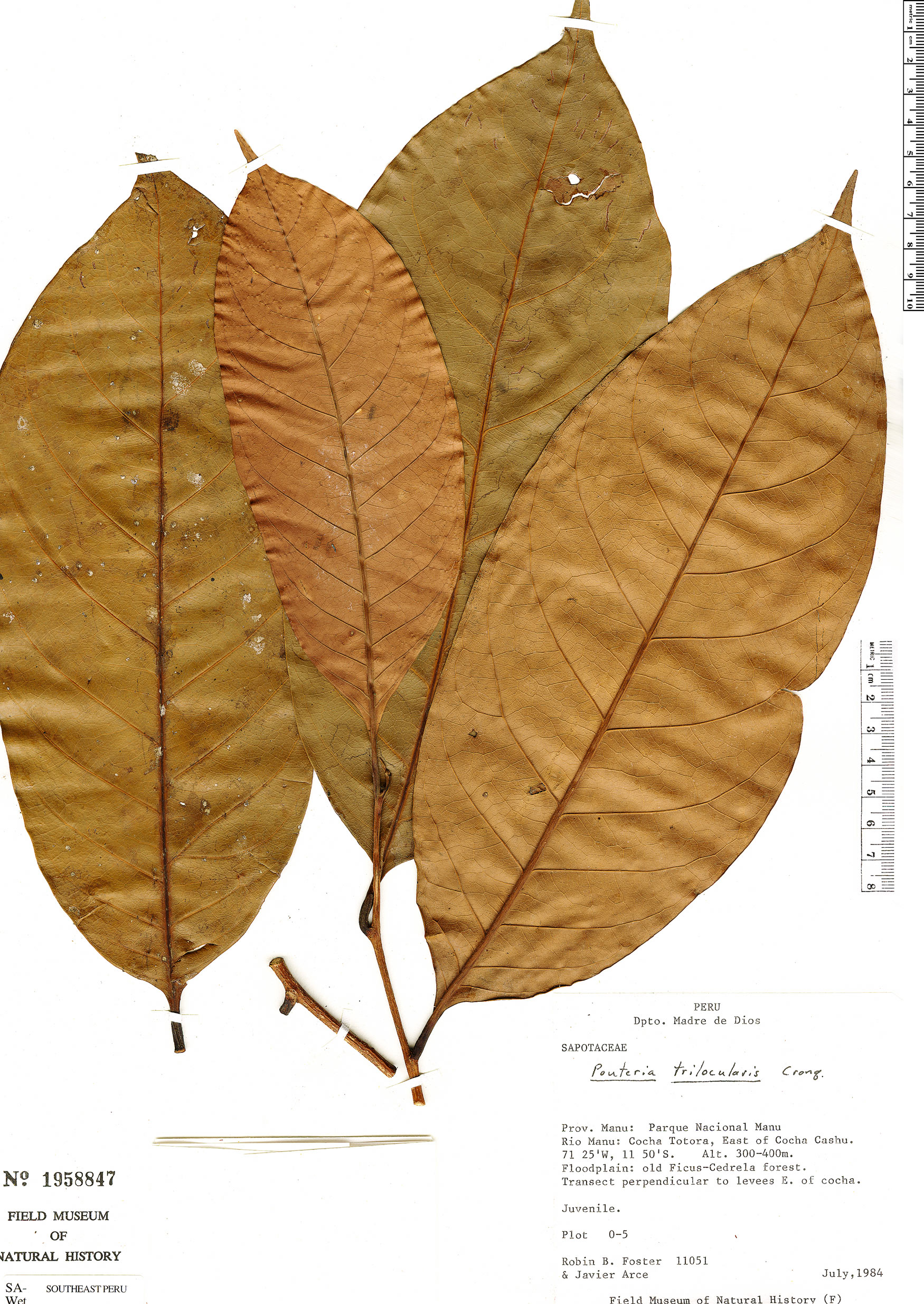 Specimen: Pouteria trilocularis