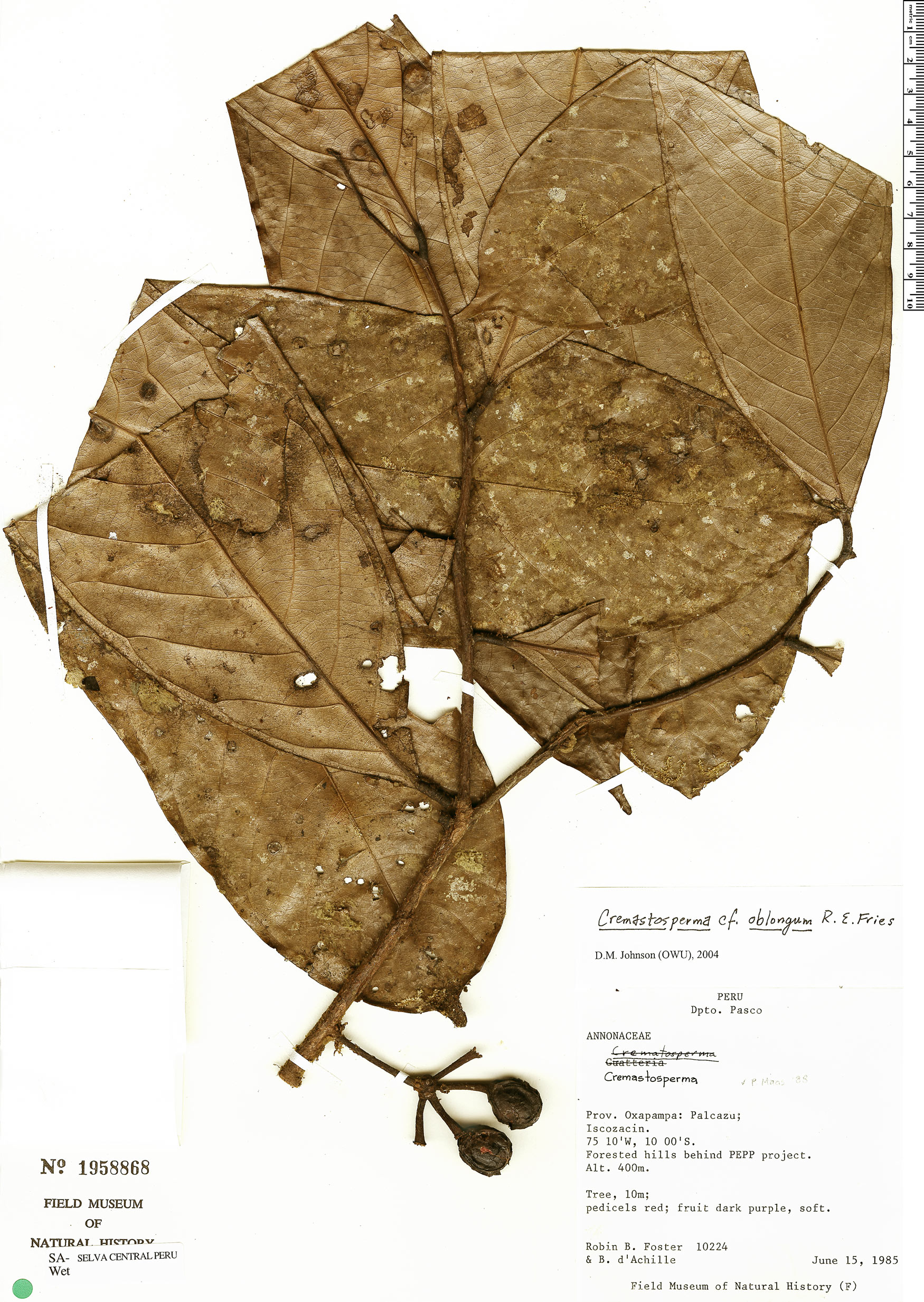 Espécime: Cremastosperma oblongum