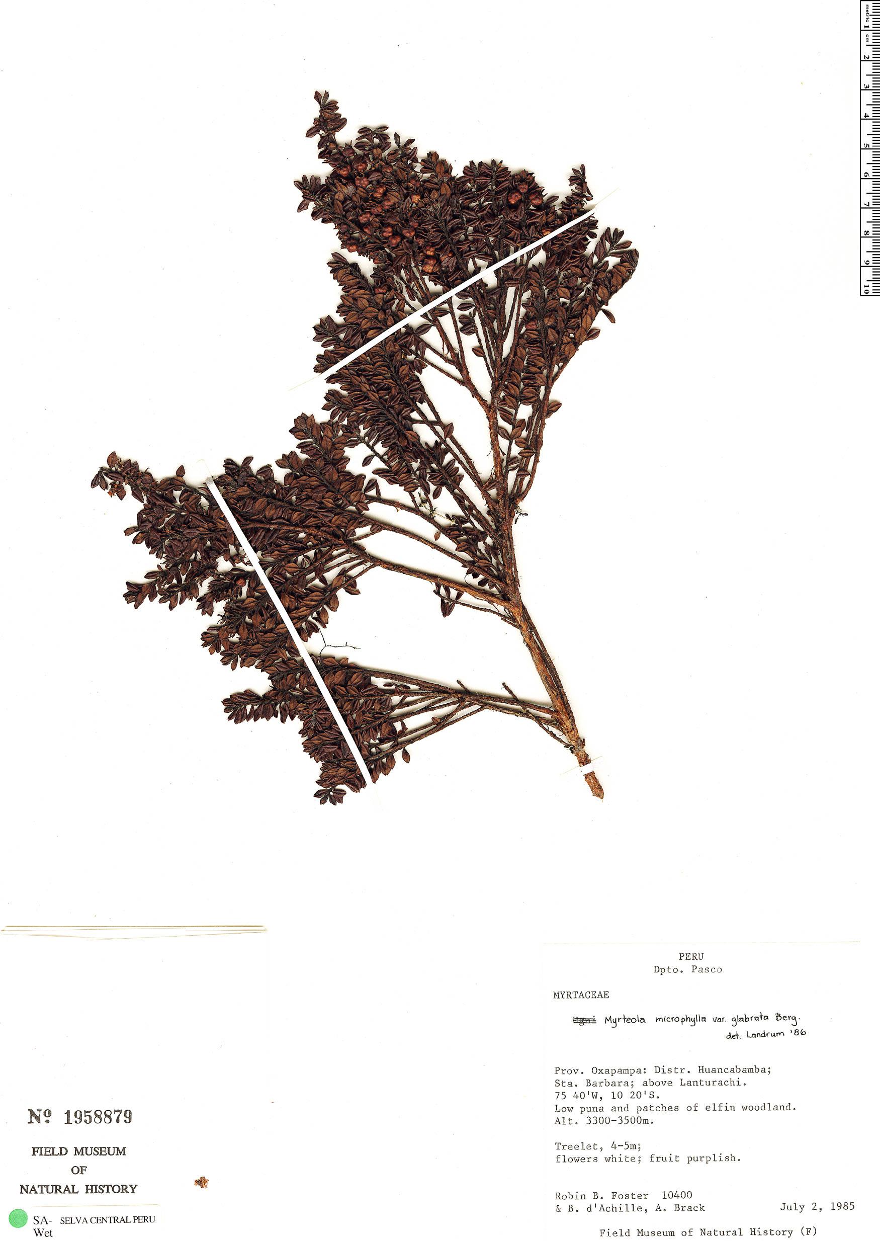 Specimen: Myrteola phylicoides