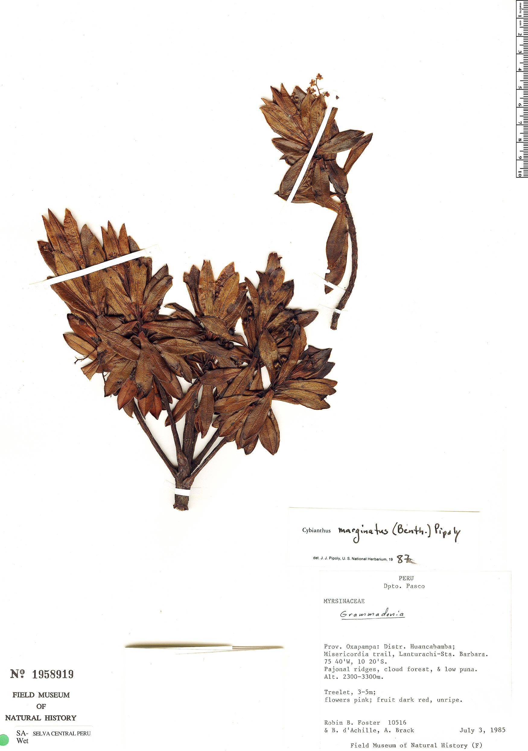 Specimen: Cybianthus marginatus