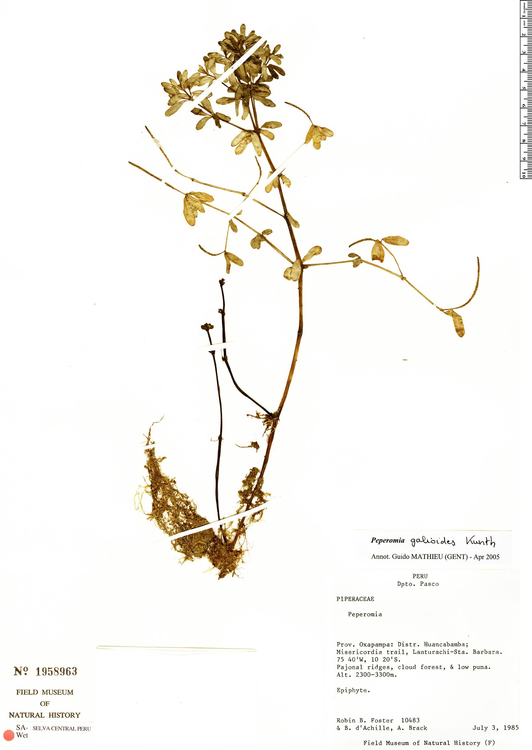 Specimen: Peperomia galioides