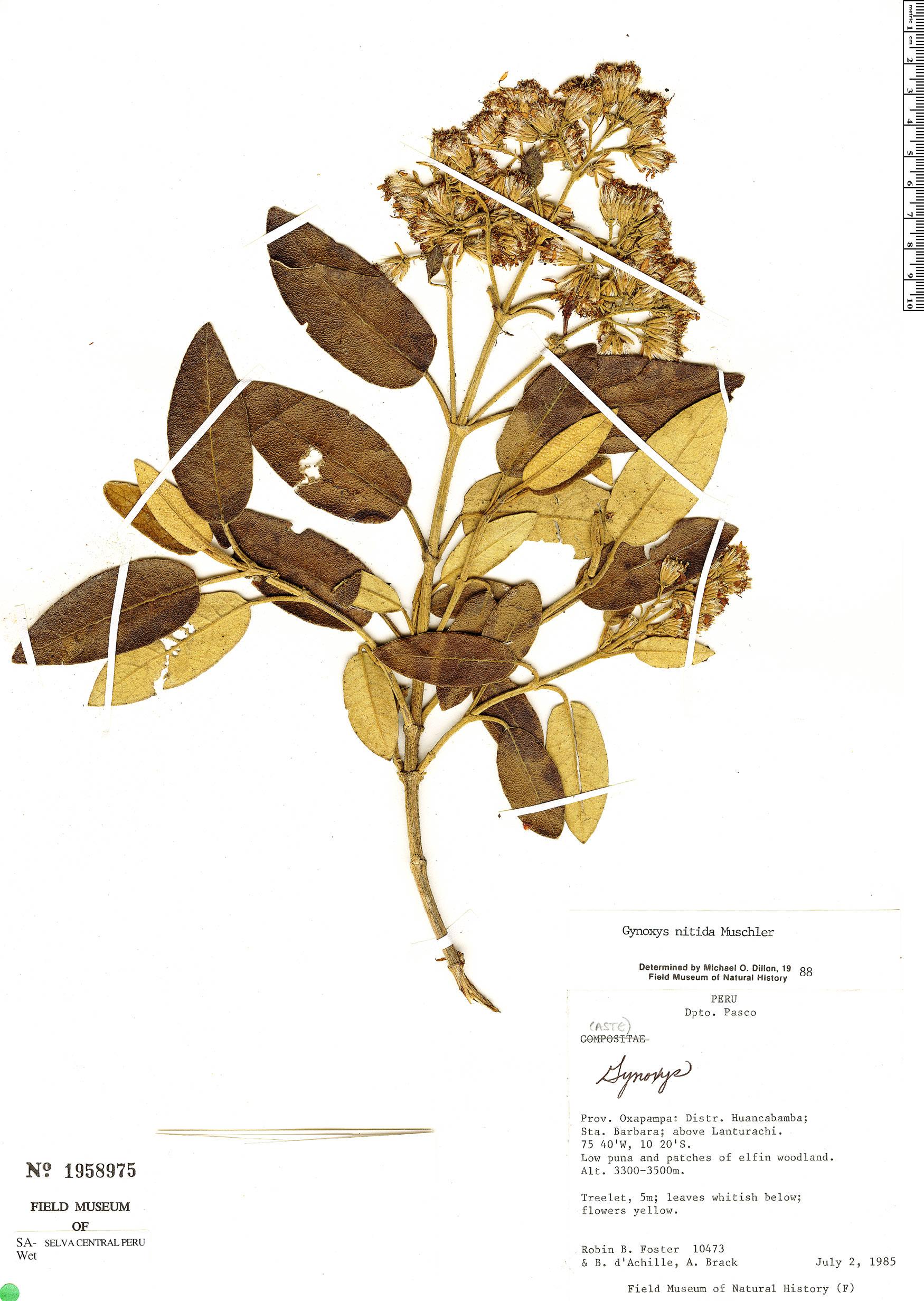 Specimen: Gynoxys nitida
