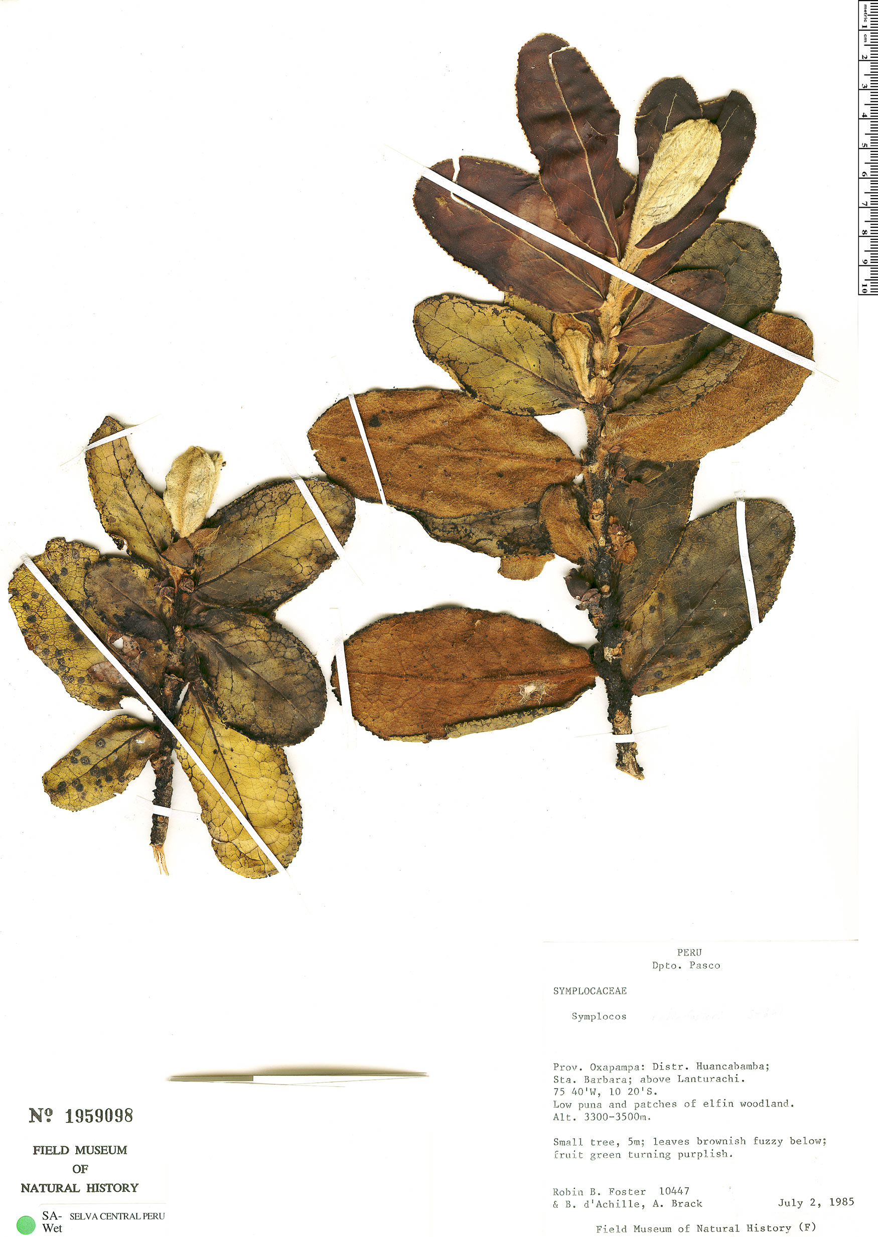 Specimen: Symplocos robinfosteri