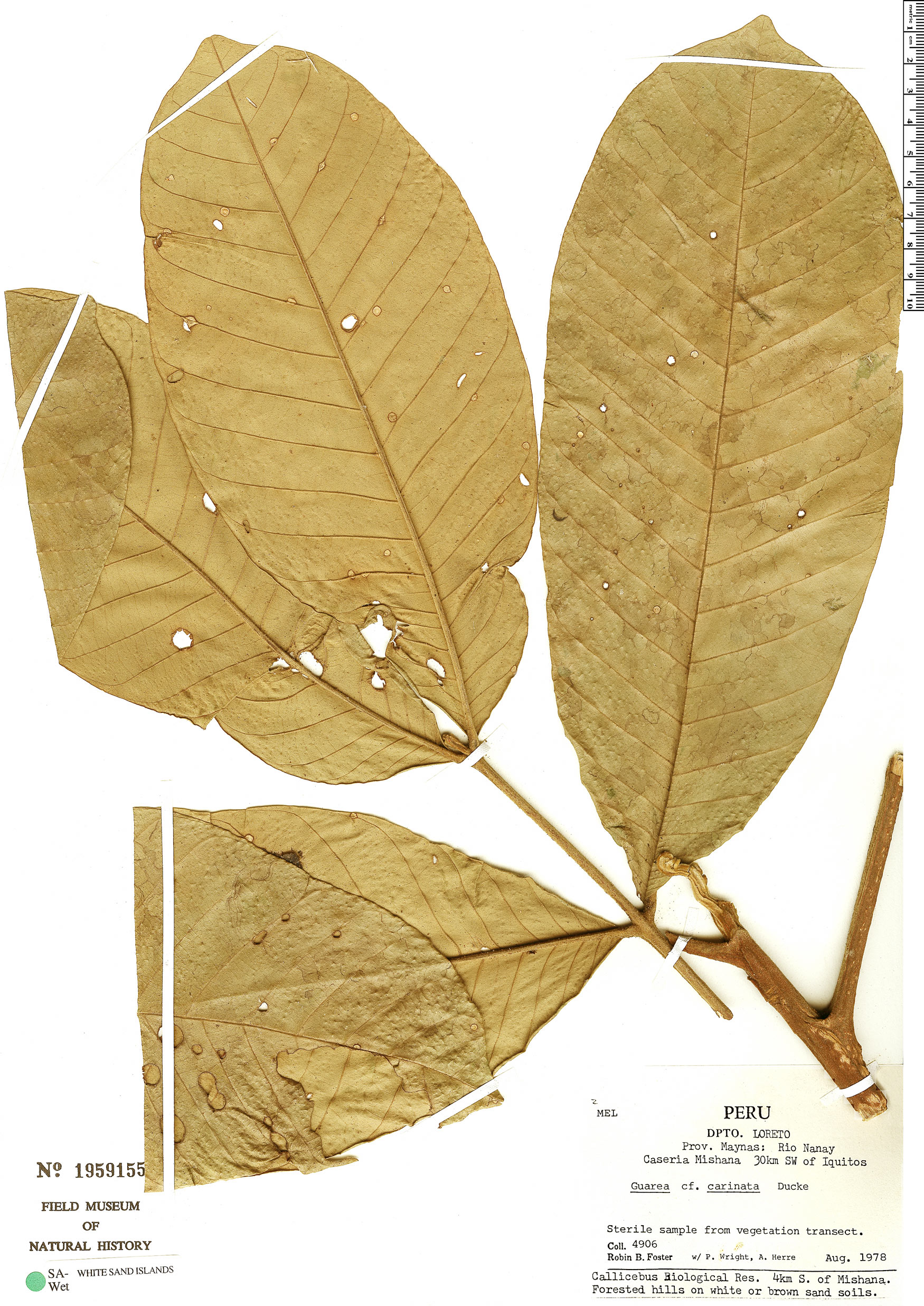 Specimen: Guarea trunciflora