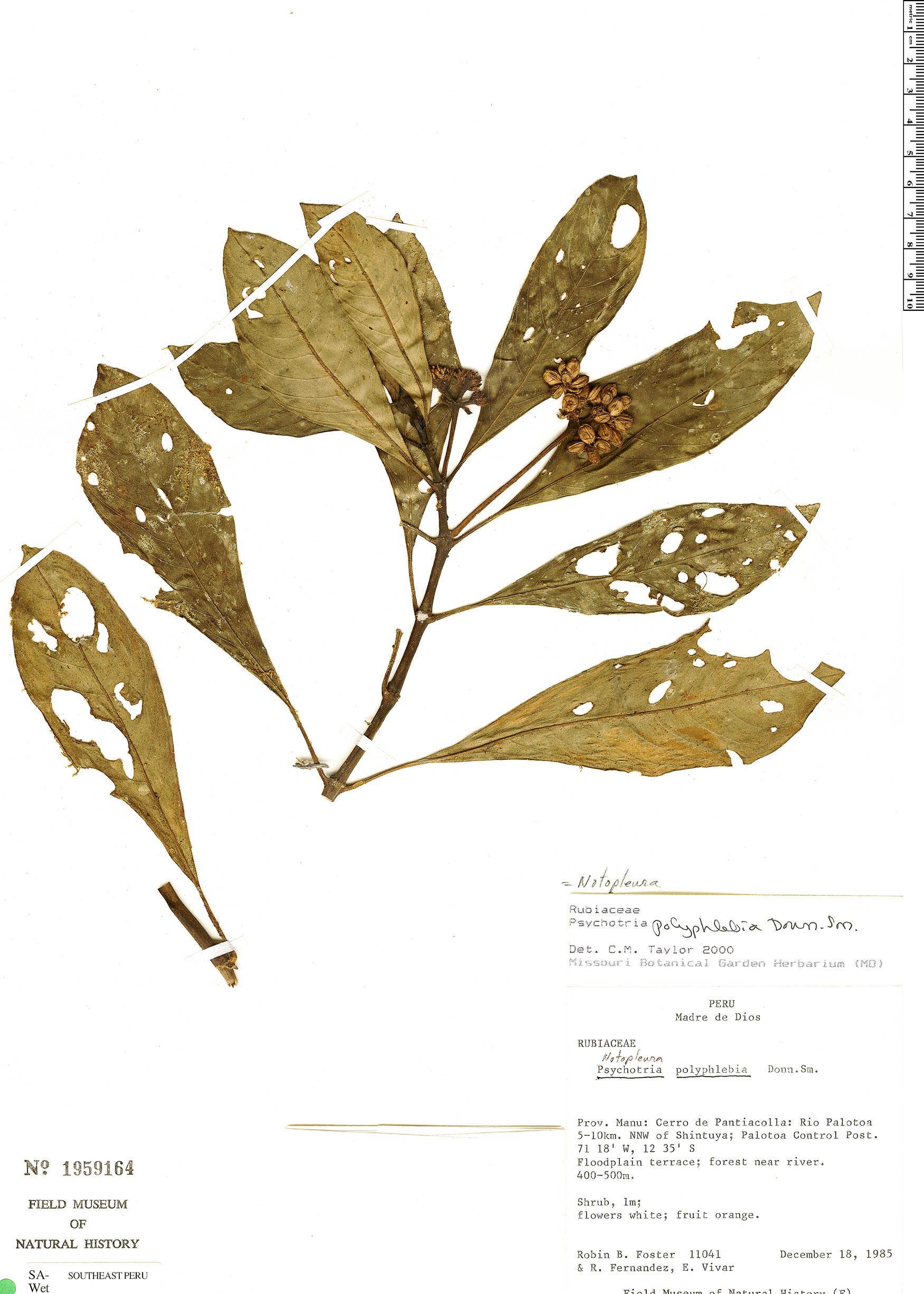 Specimen: Notopleura iridescens