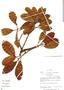Ficus trigona L. f., Peru, R. B. Foster 10940, F