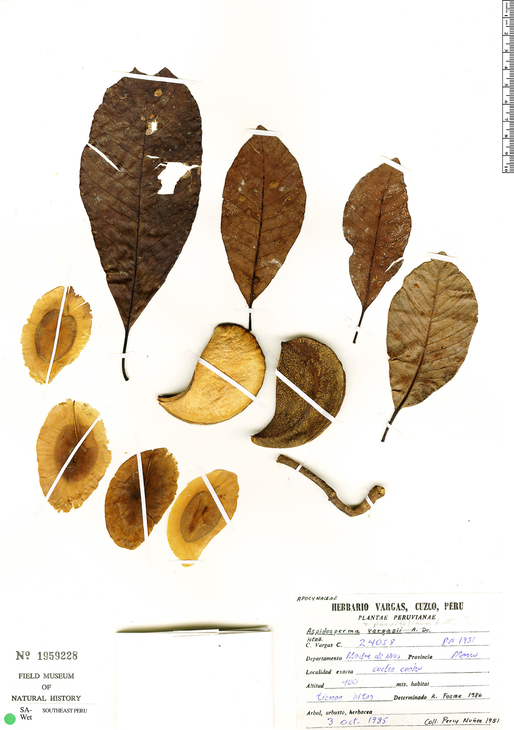 Specimen: Aspidosperma parvifolium