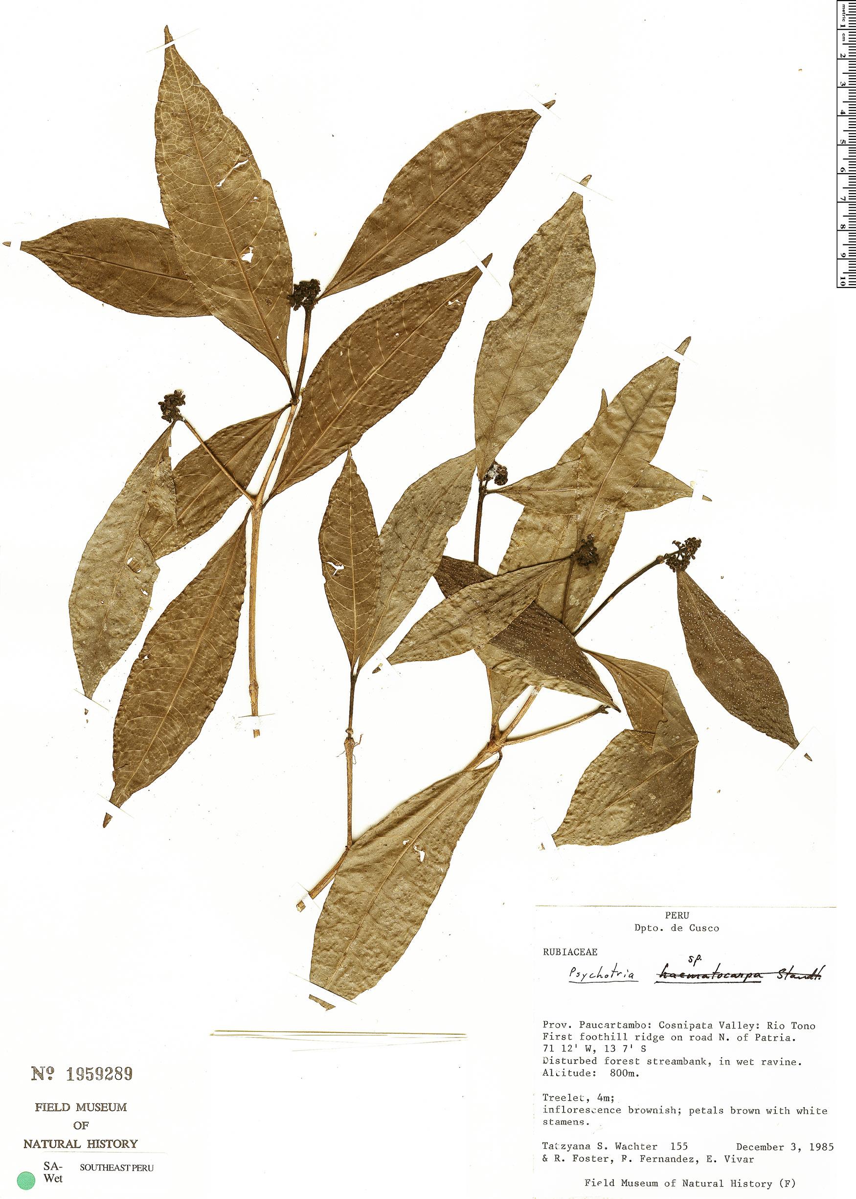 Specimen: Eumachia inconspicua