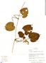 Geophila cordifolia Miq., Peru, T. S. Wachter 50, F