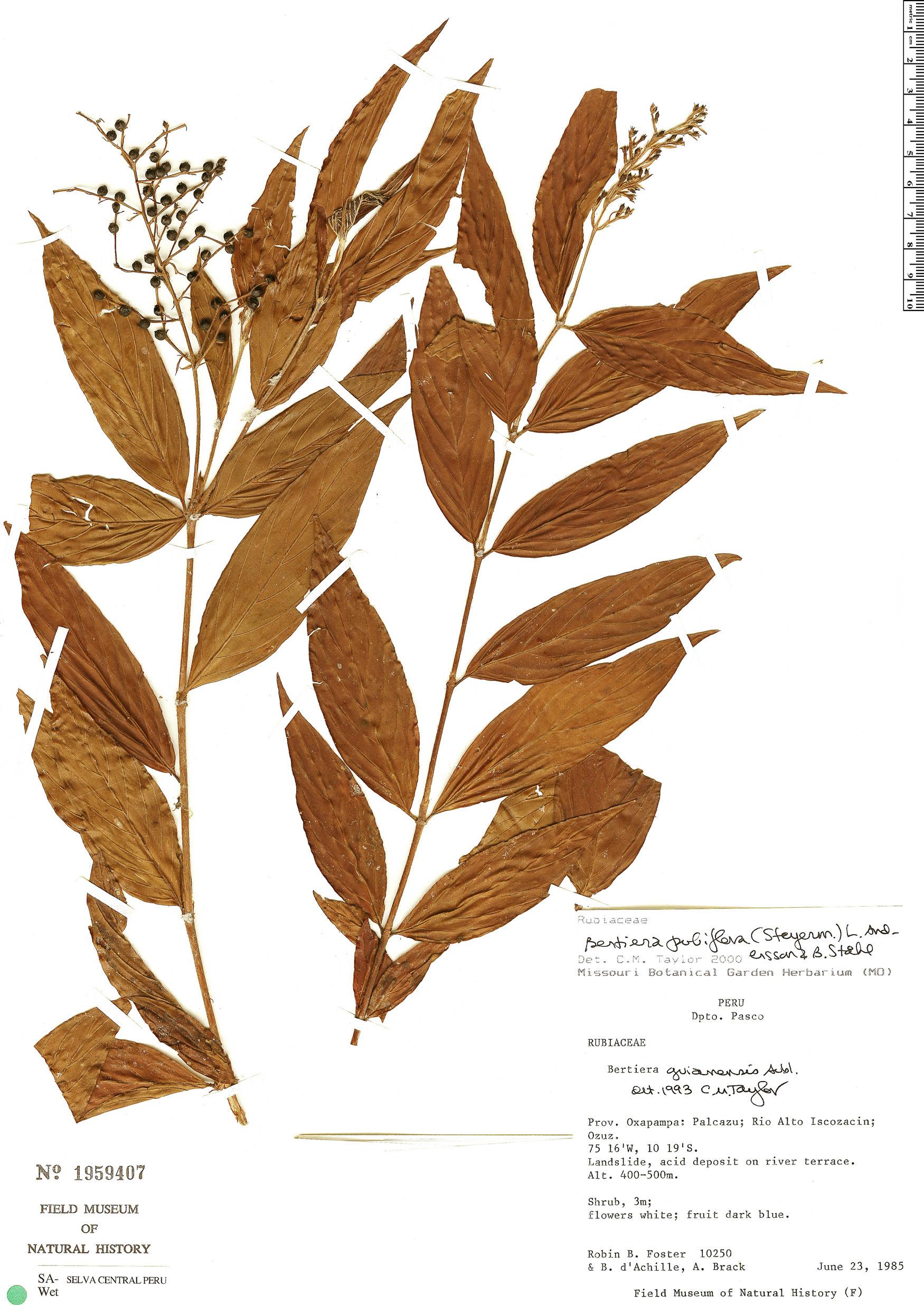Specimen: Bertiera pubiflora