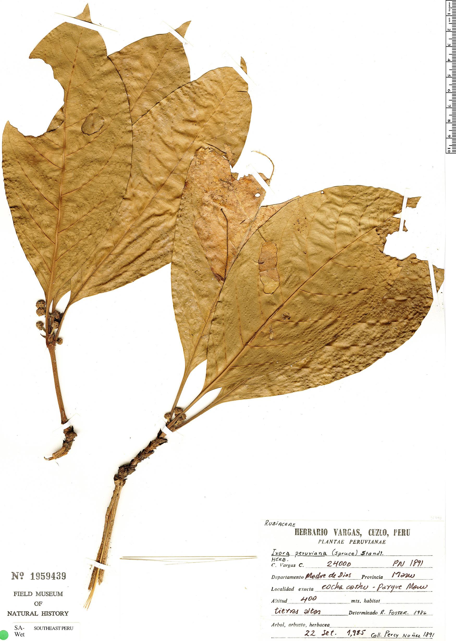 Specimen: Ixora peruviana