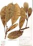 Ficus americana subsp. subapiculata (Miq.) C. C. Berg, Peru, L. Luna 884, F