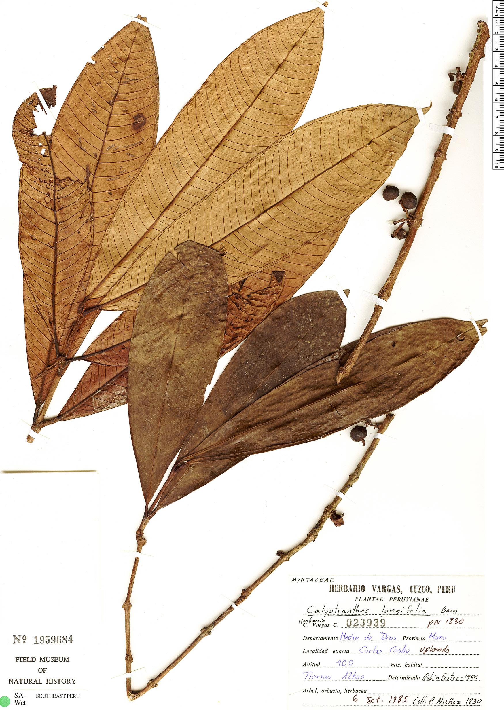 Specimen: Calyptranthes longifolia