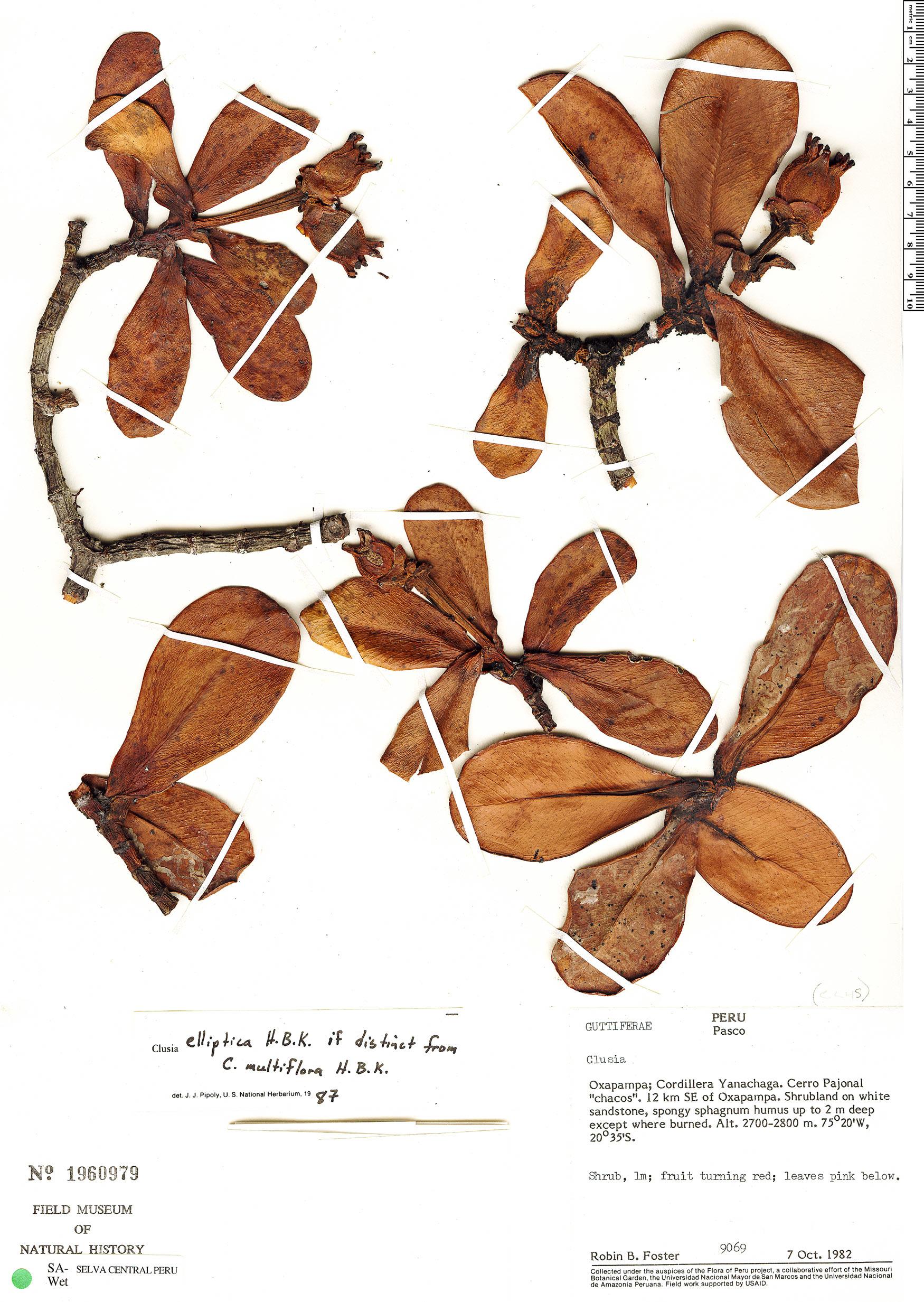 Specimen: Clusia sphaerocarpa