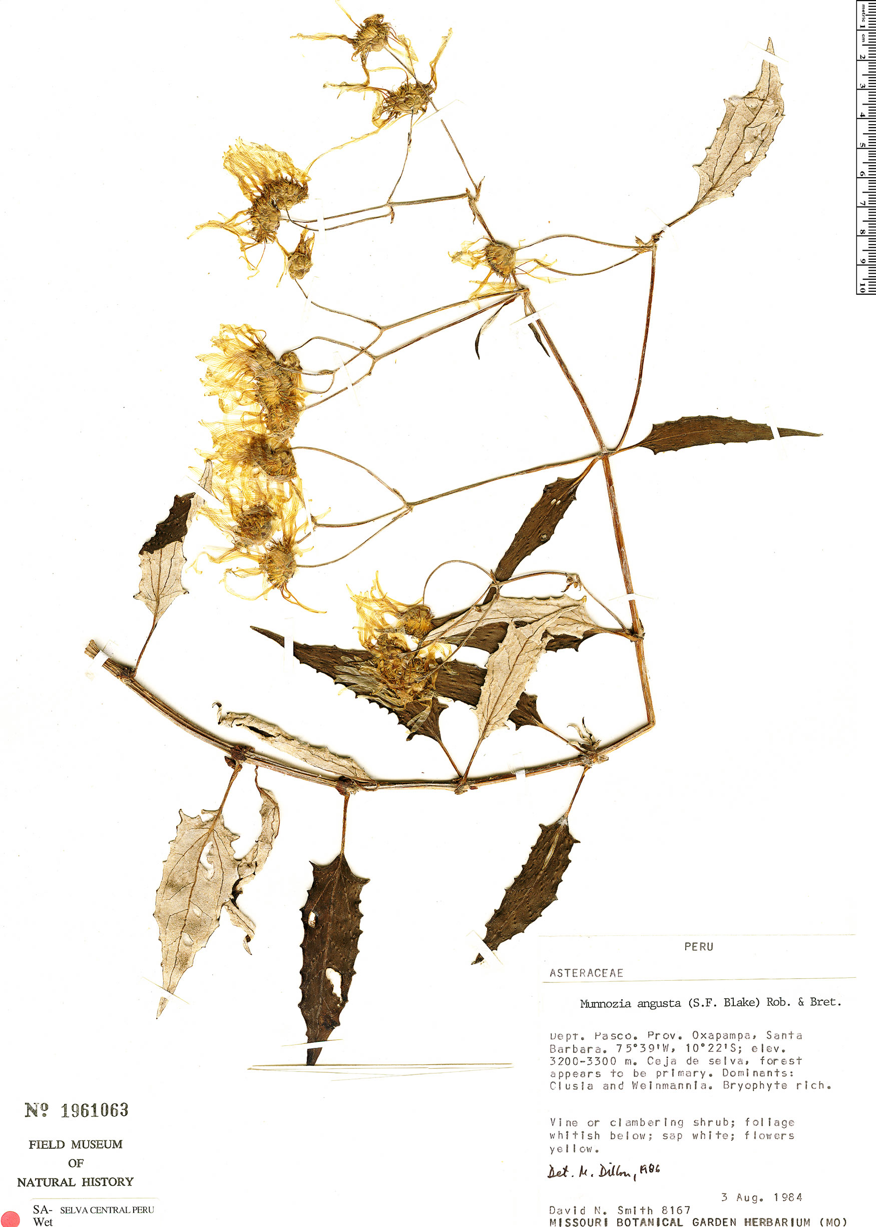 Espécimen: Munnozia angusta