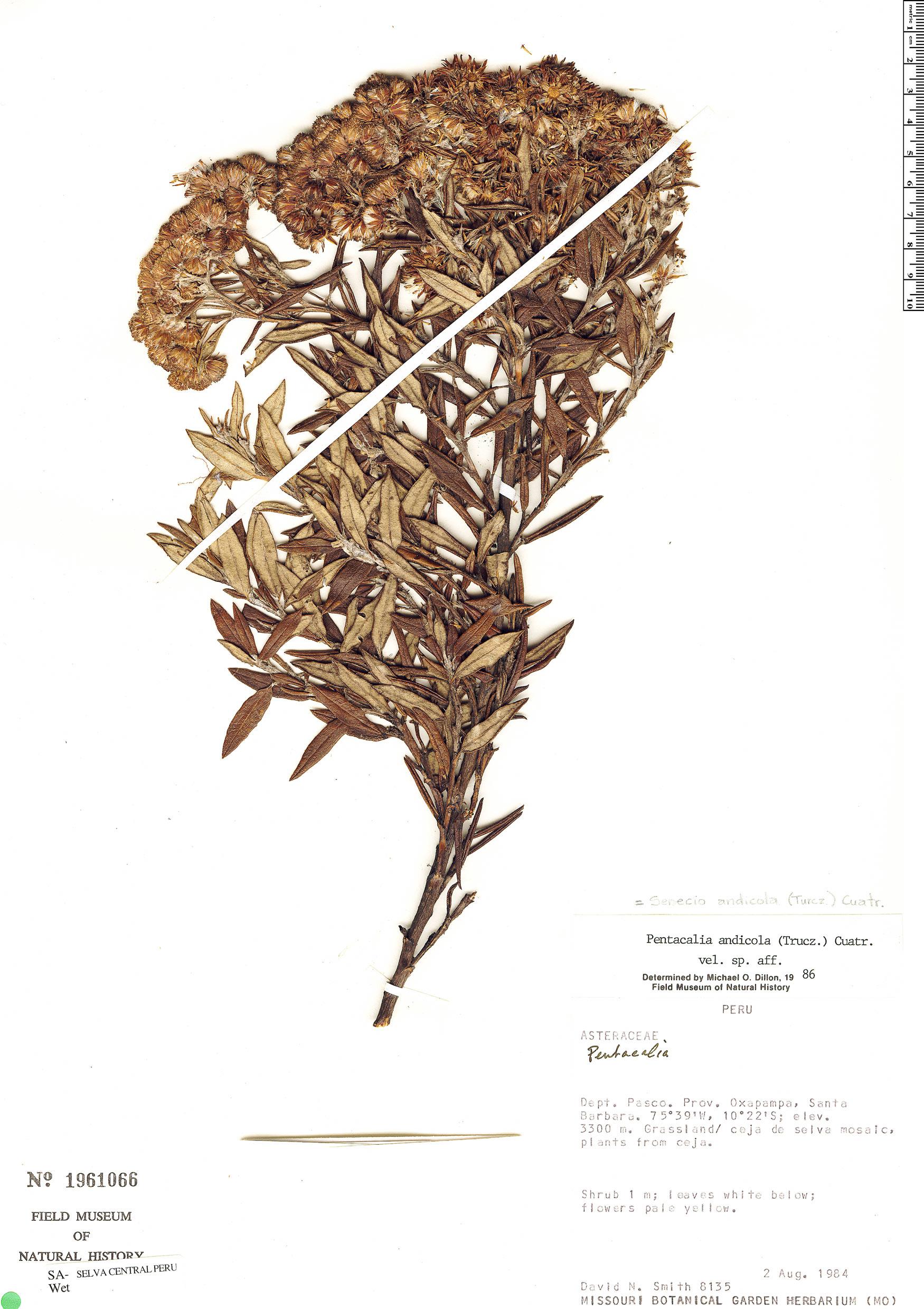Specimen: Pentacalia andicola