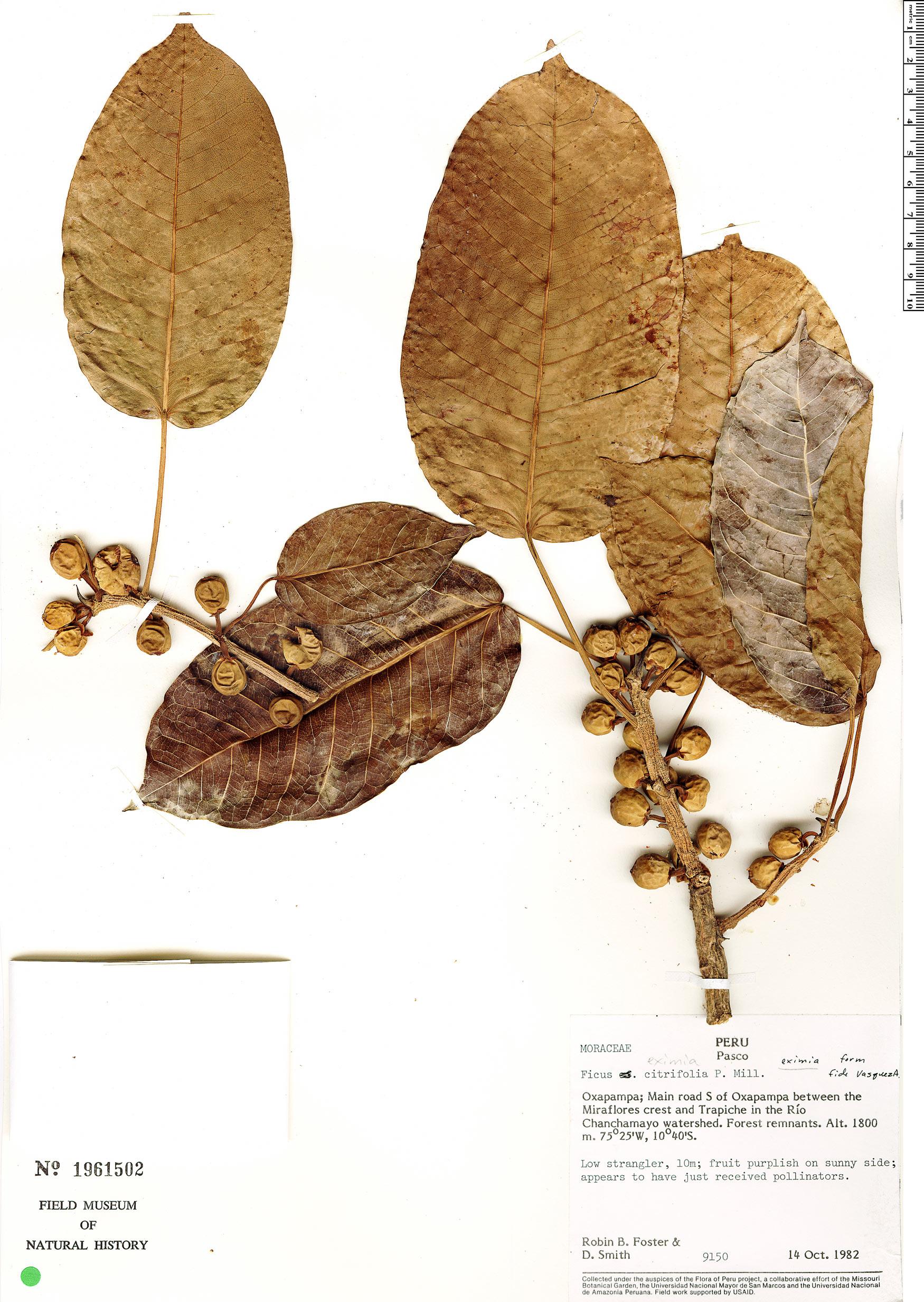 Specimen: Ficus eximia
