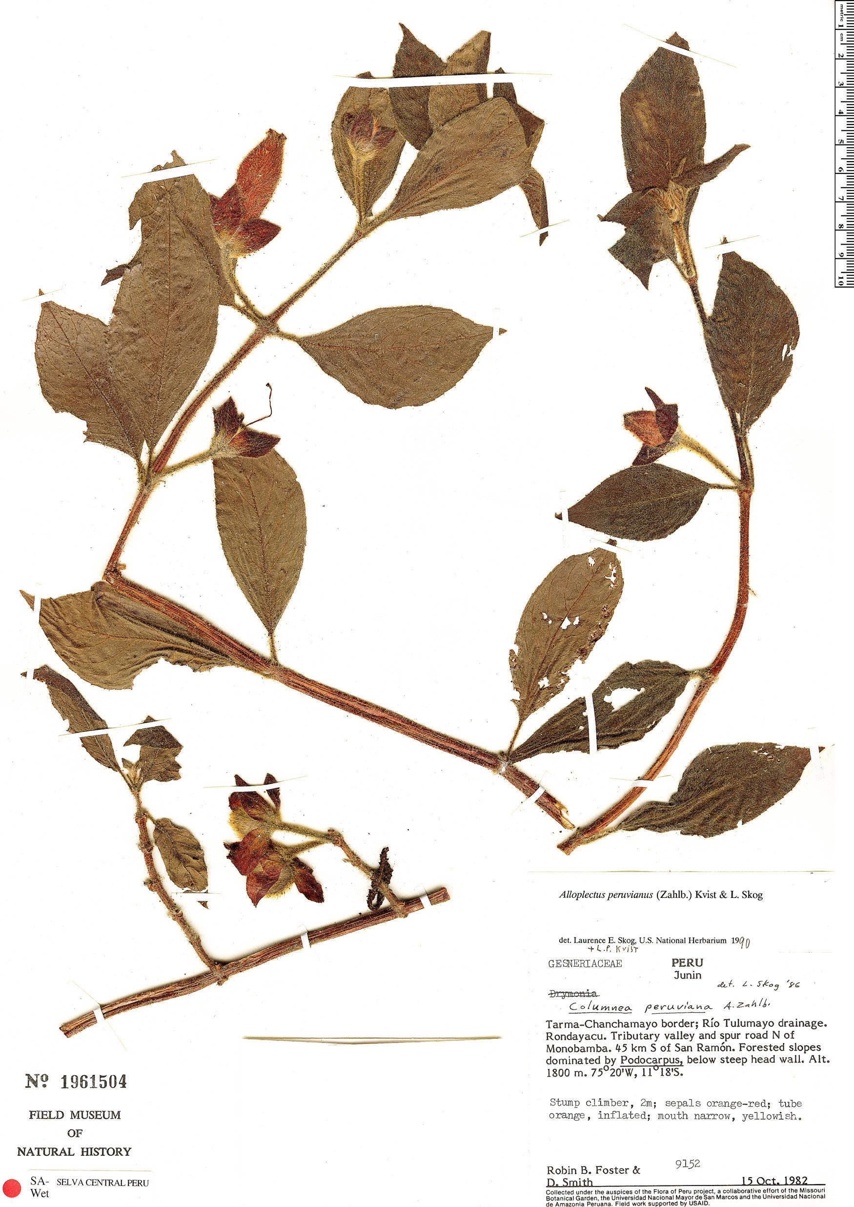 Specimen: Columnea peruviana