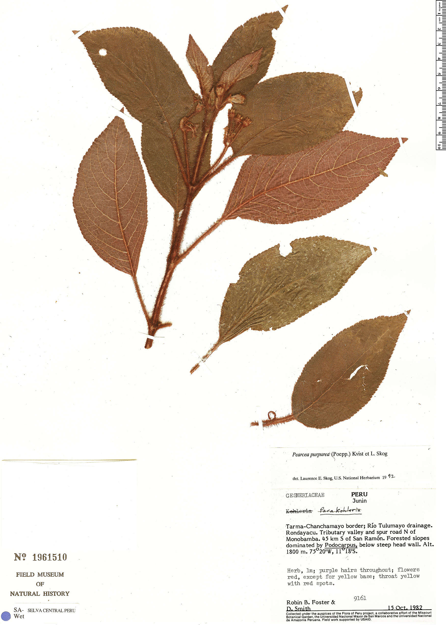 Specimen: Pearcea purpurea