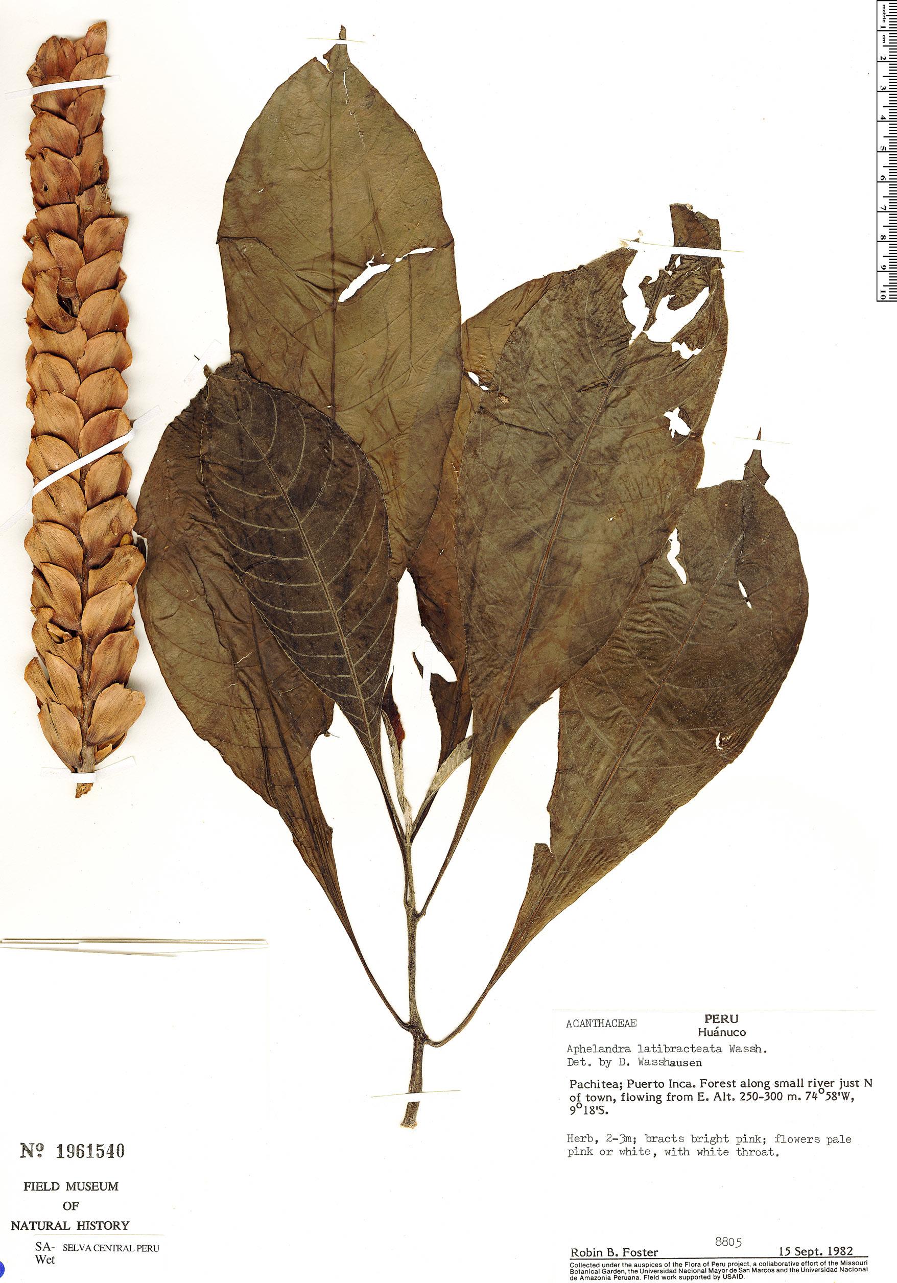 Specimen: Aphelandra latibracteata
