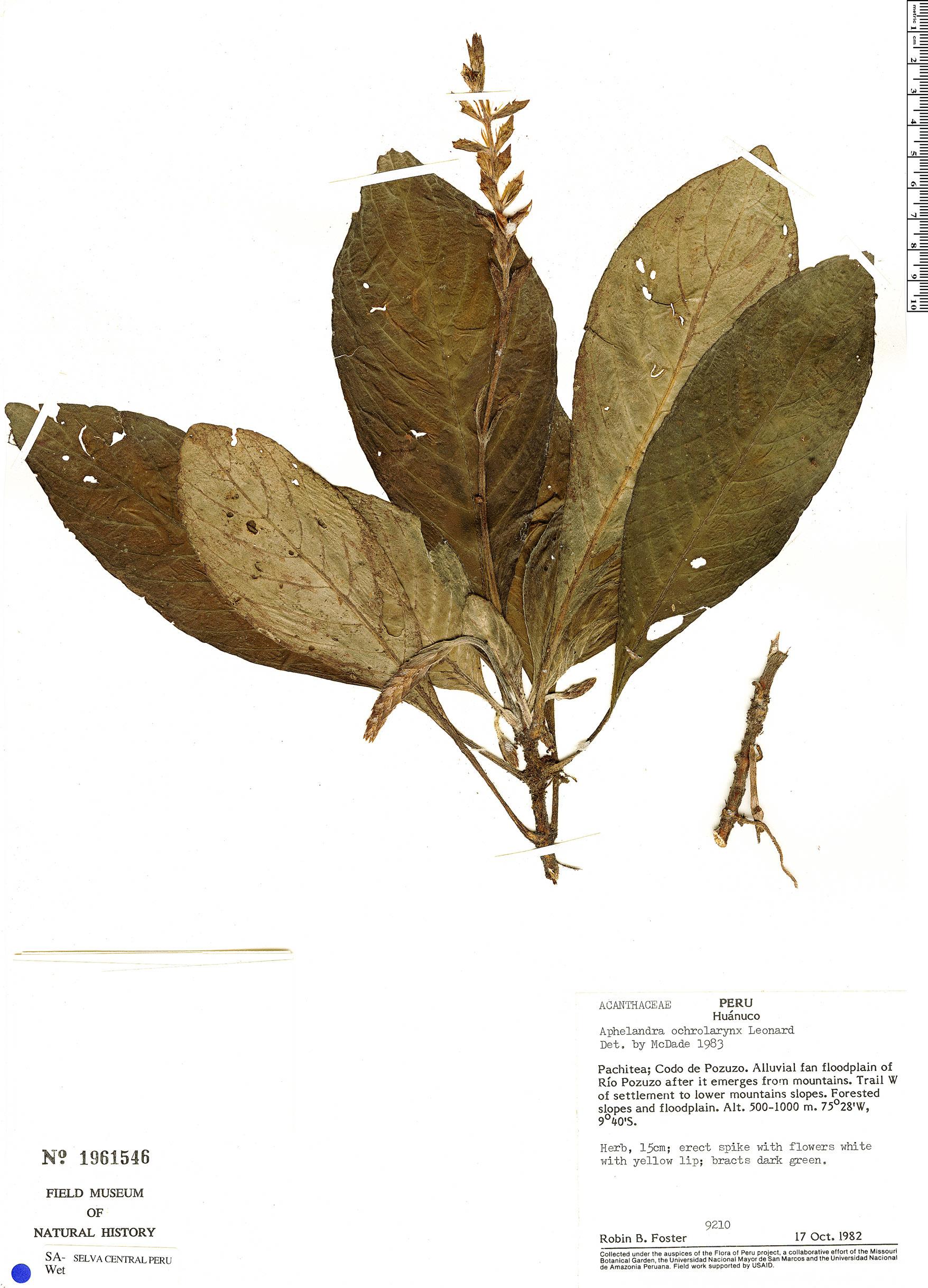 Specimen: Aphelandra rosulata