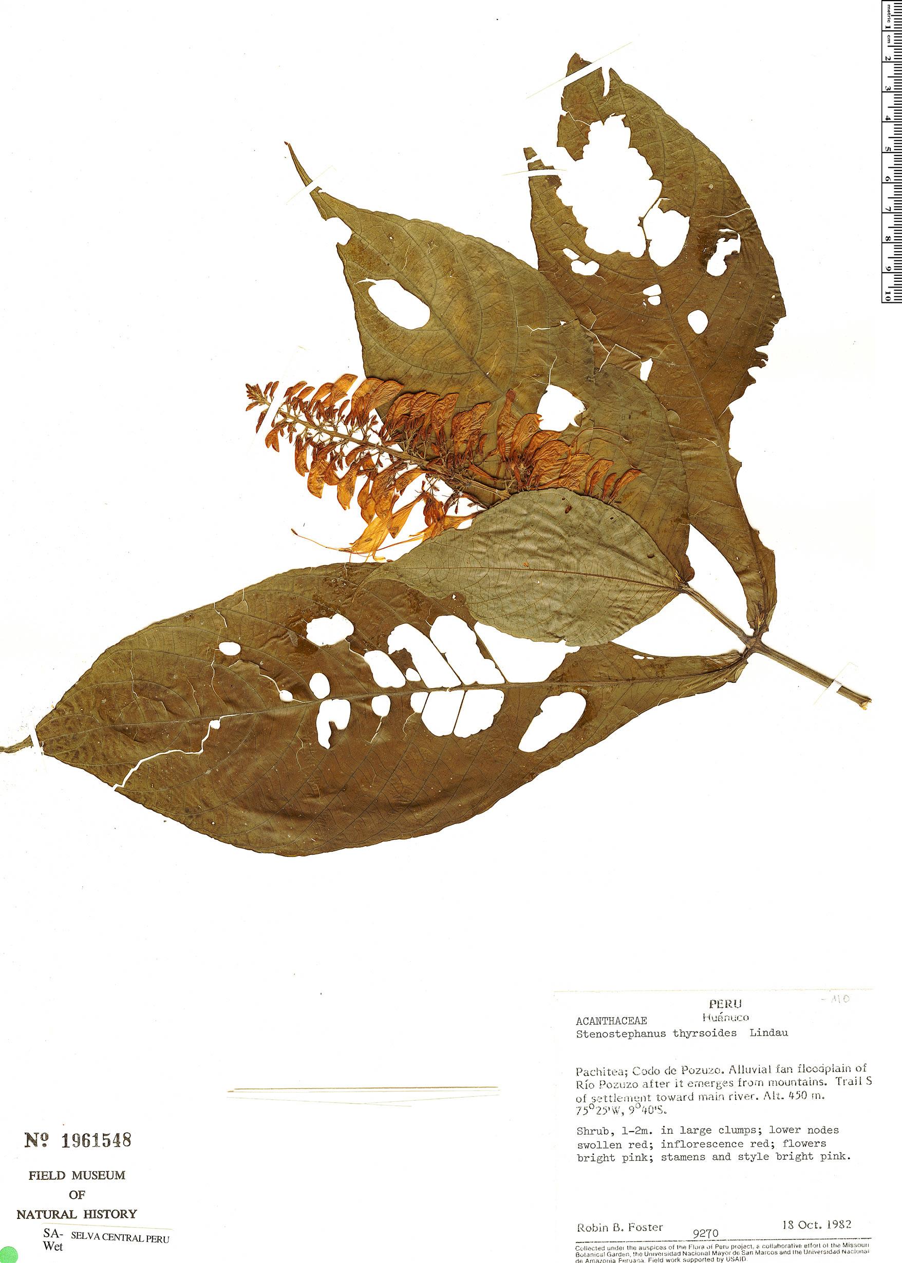 Specimen: Stenostephanus longistaminus