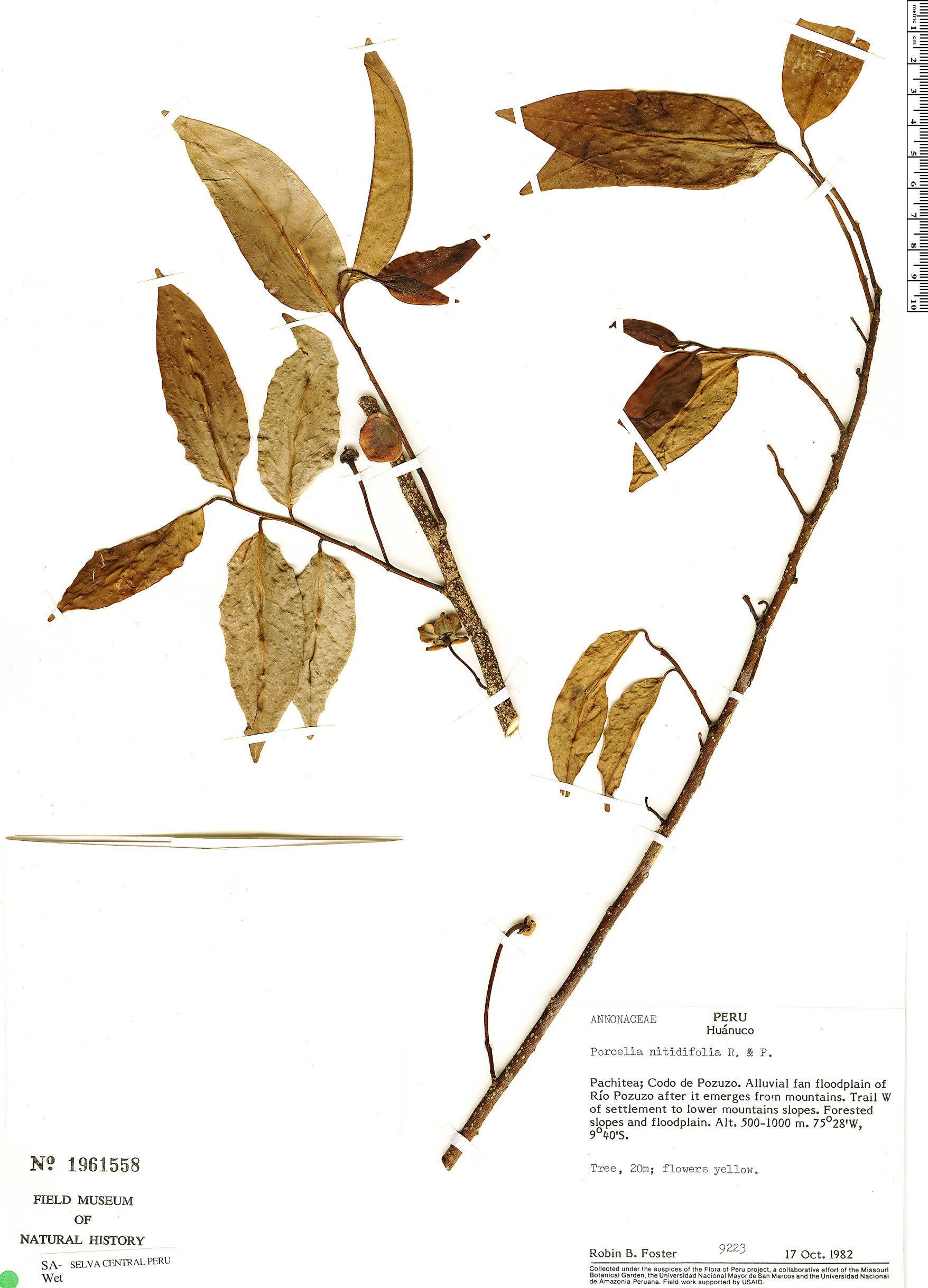 Espécimen: Porcelia ponderosa