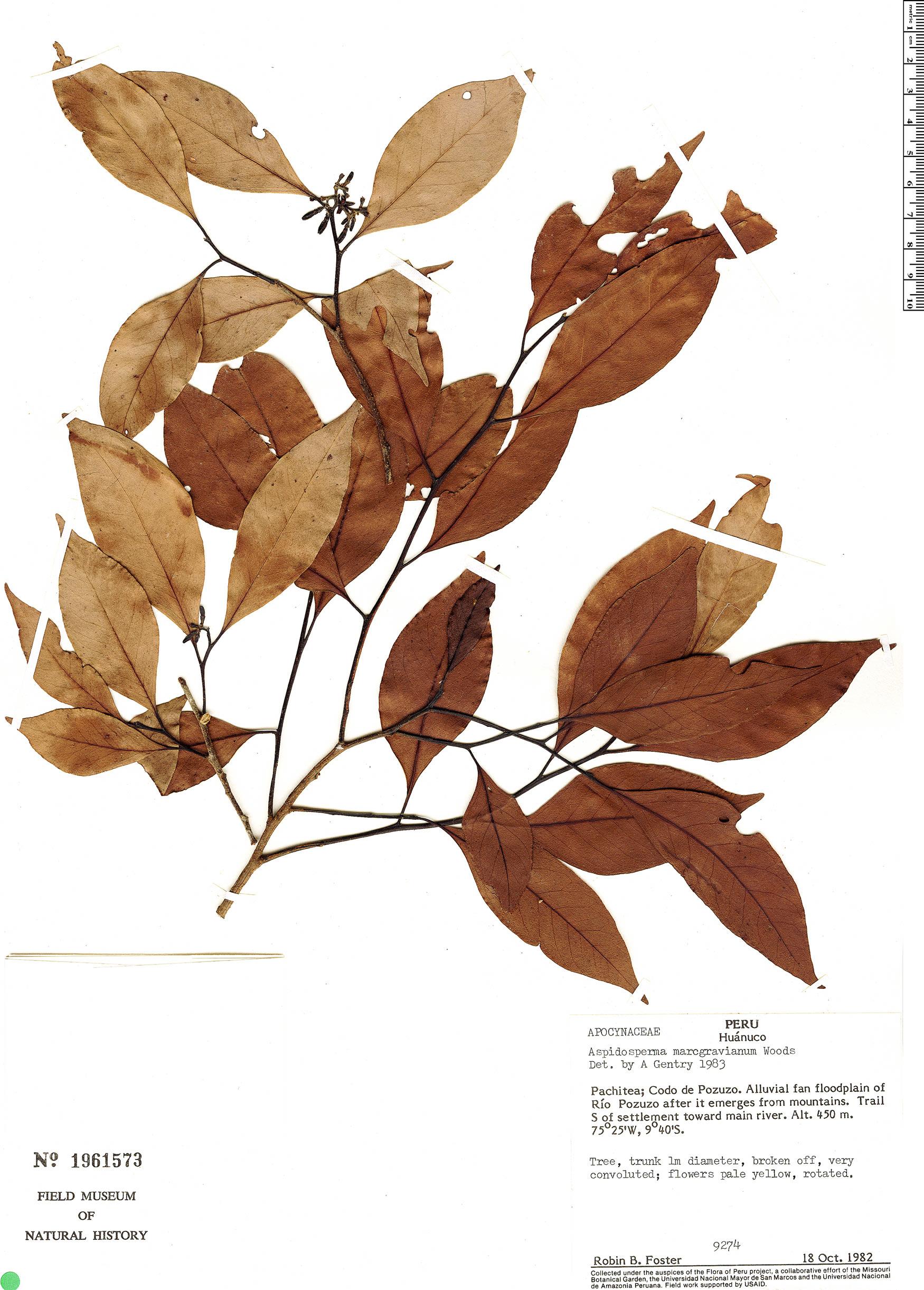 Specimen: Aspidosperma rigidum