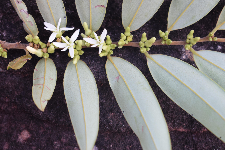 Specimen: Xylopia nitida