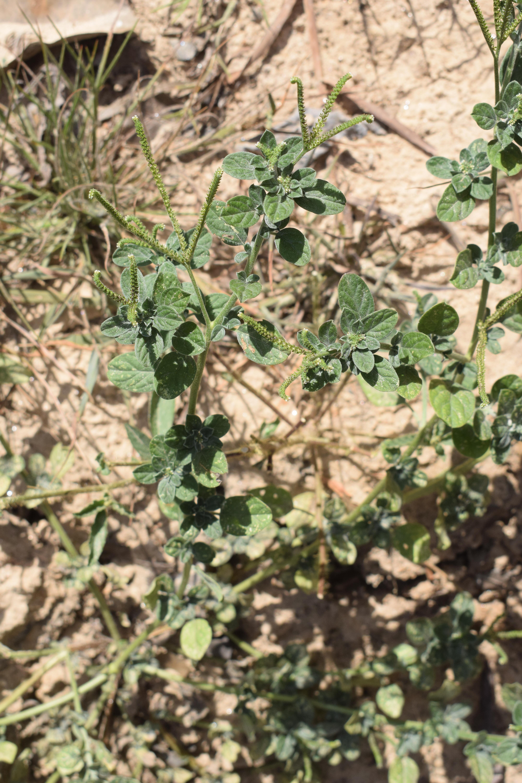 Specimen: Euploca procumbens