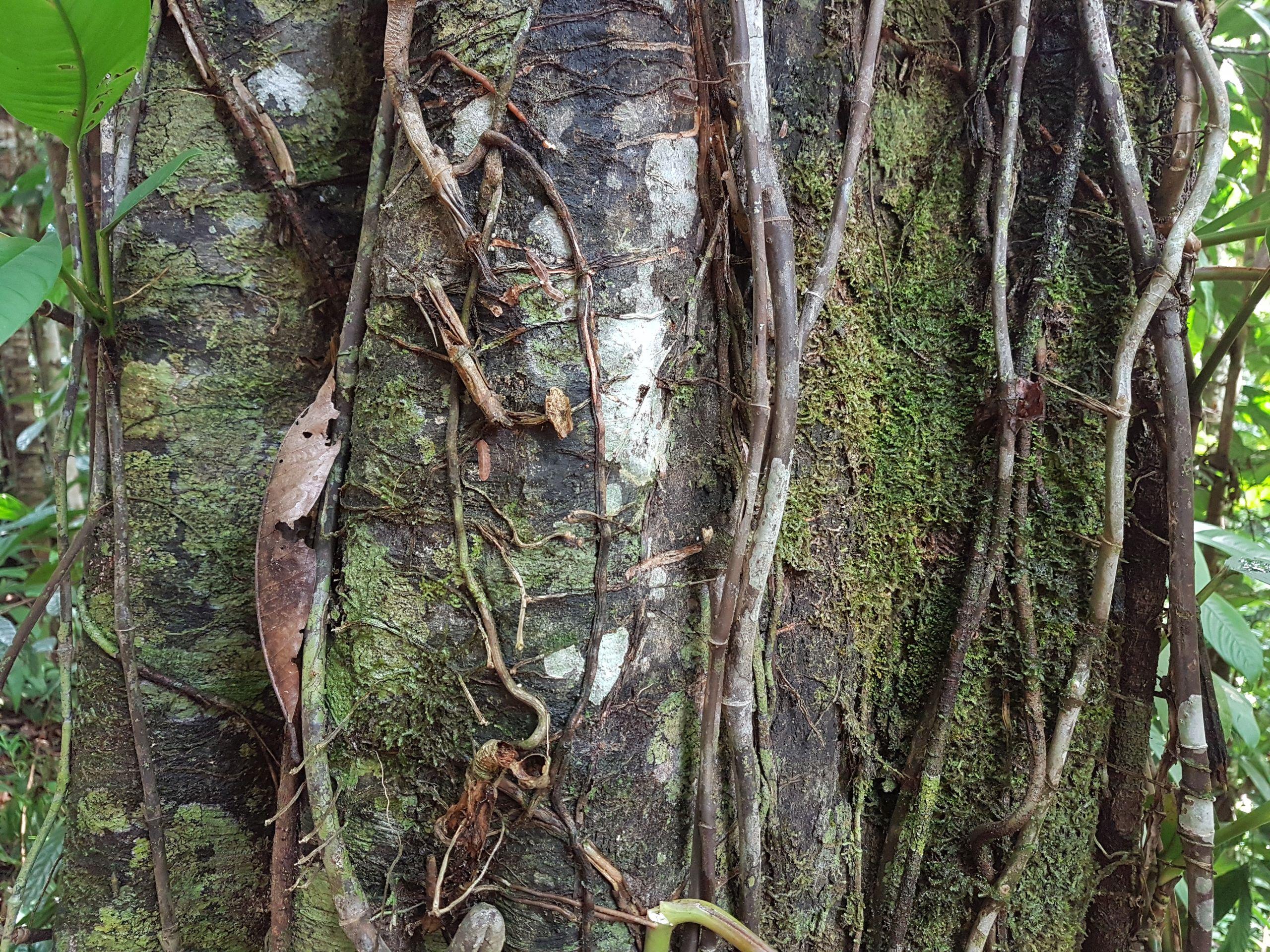 Specimen: Aspidosperma myristicifolium