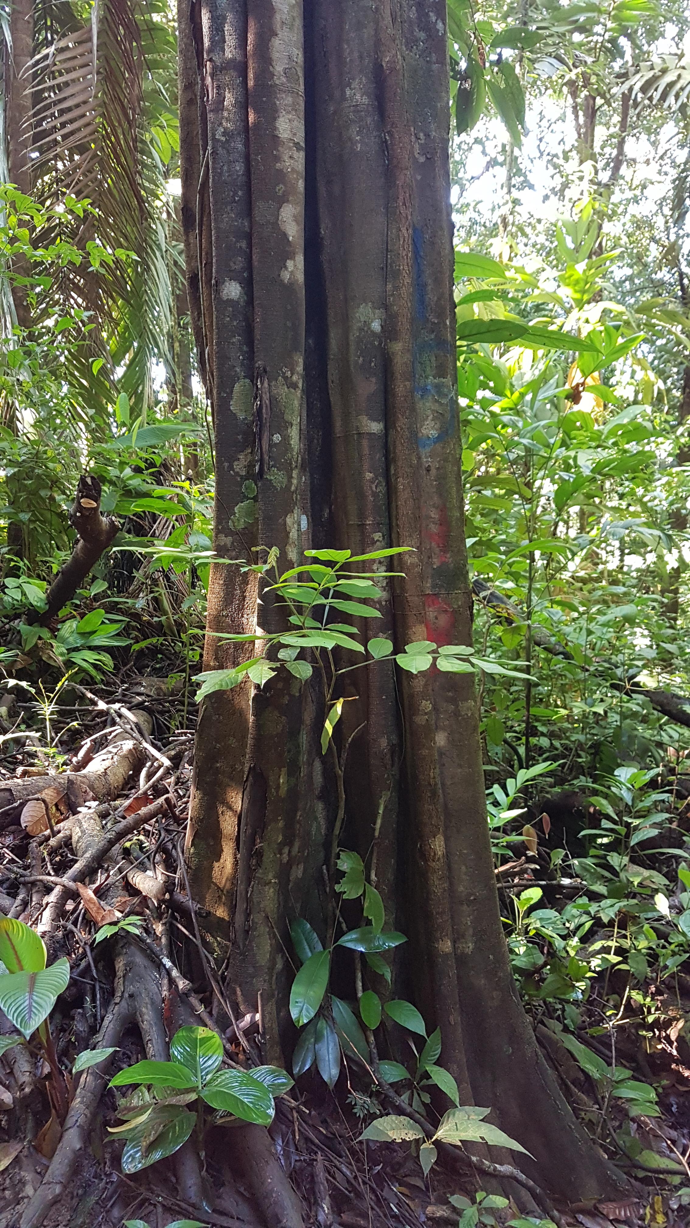 Specimen: Lecointea amazonica