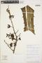 Furcraea hexapetala (Jacq.) Urb., Peru, C. Díaz S. 2789, F