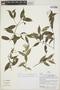 Faramea quinqueflora Poepp., Peru, H. Beltrán S. 1402, F