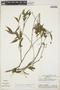 Faramea quinqueflora Poepp., Peru, A. H. Gentry 27292, F