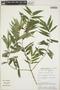 Faramea quinqueflora Poepp., Peru, J. Salick 7171, F