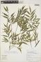 Faramea quinqueflora Poepp., Peru, R. B. Foster 9988, F