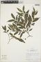 Faramea quinqueflora Poepp., Peru, R. B. Foster 10776, F